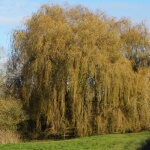 Willow Tree - Step Green